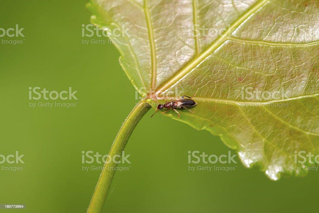 ant-like flower beetle royalty-free stock photo