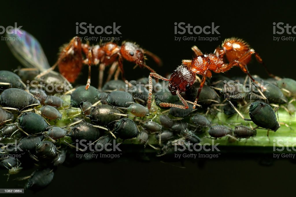 Ants and Aphids - Close up stock photo