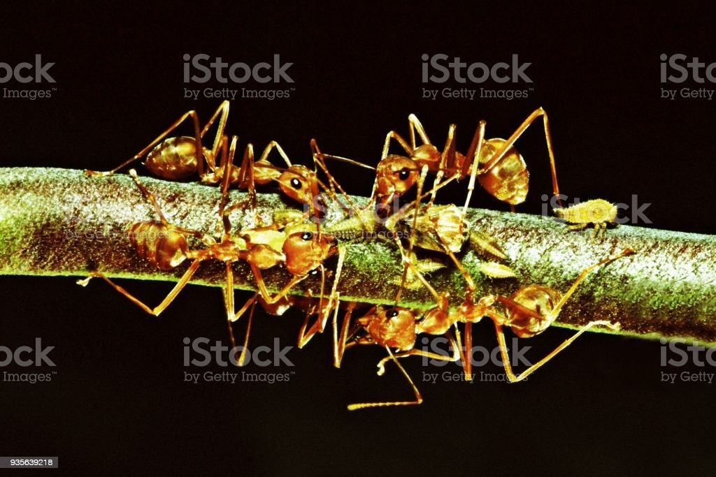 Ants and aphids on branch (black background) stock photo