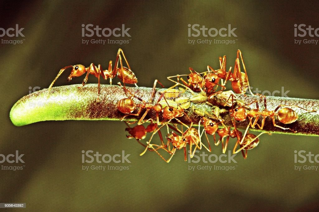 Ants and aphids on branch. stock photo