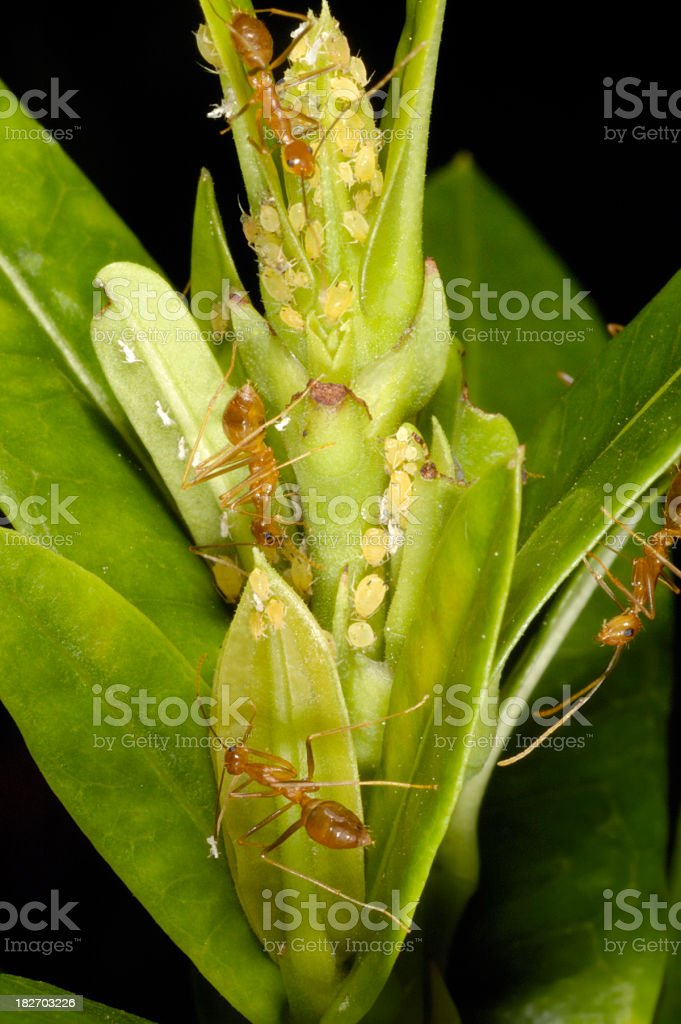 Ants and Aphids stock photo