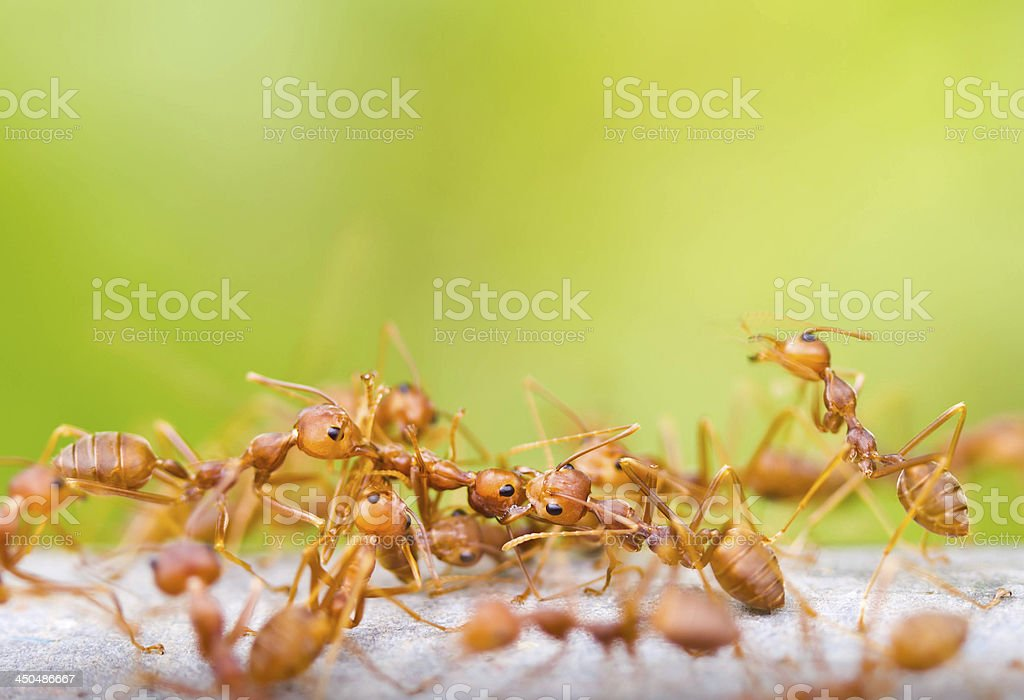 Ants are carrying dead ant. stock photo