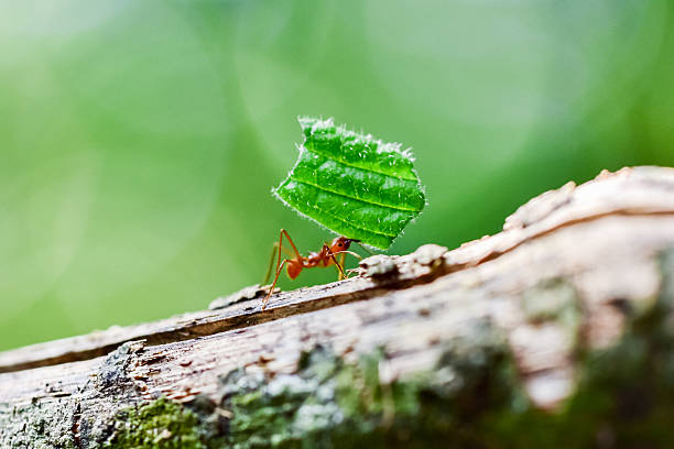 Ants are carrying on leaves in nature Ants are carrying on leaves - close up of ant ant stock pictures, royalty-free photos & images