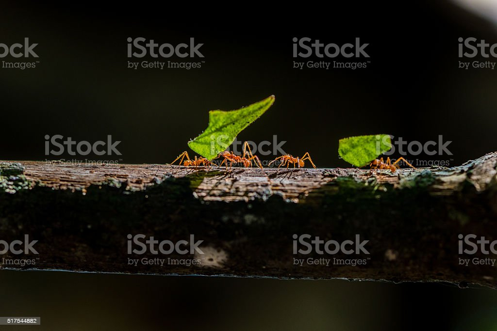 Ants are carrying on leaves in nature stock photo