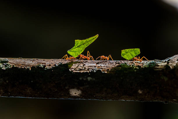 Ants are carrying on leaves in nature foto