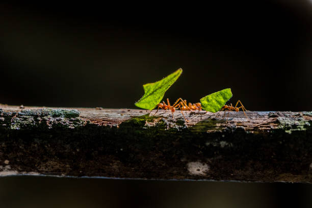 ants are carrying on leaves in nature - ants working together stock photos and pictures