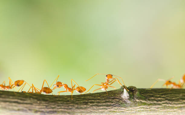 ants are helping each other - ants working together stock photos and pictures