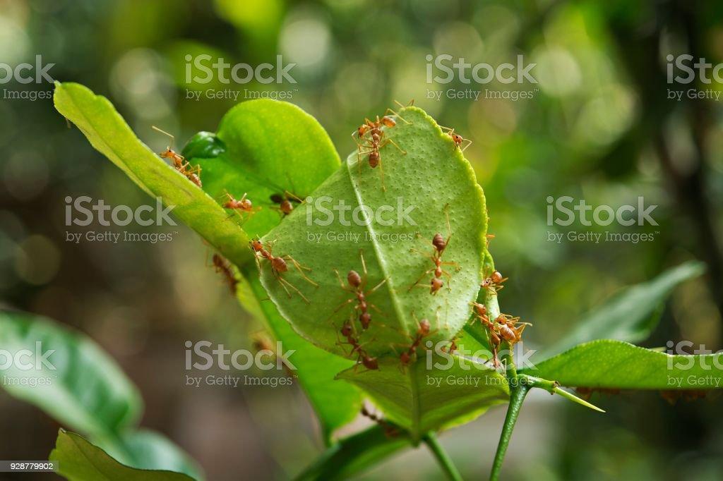 Ants are nesting on bergamot tree. stock photo