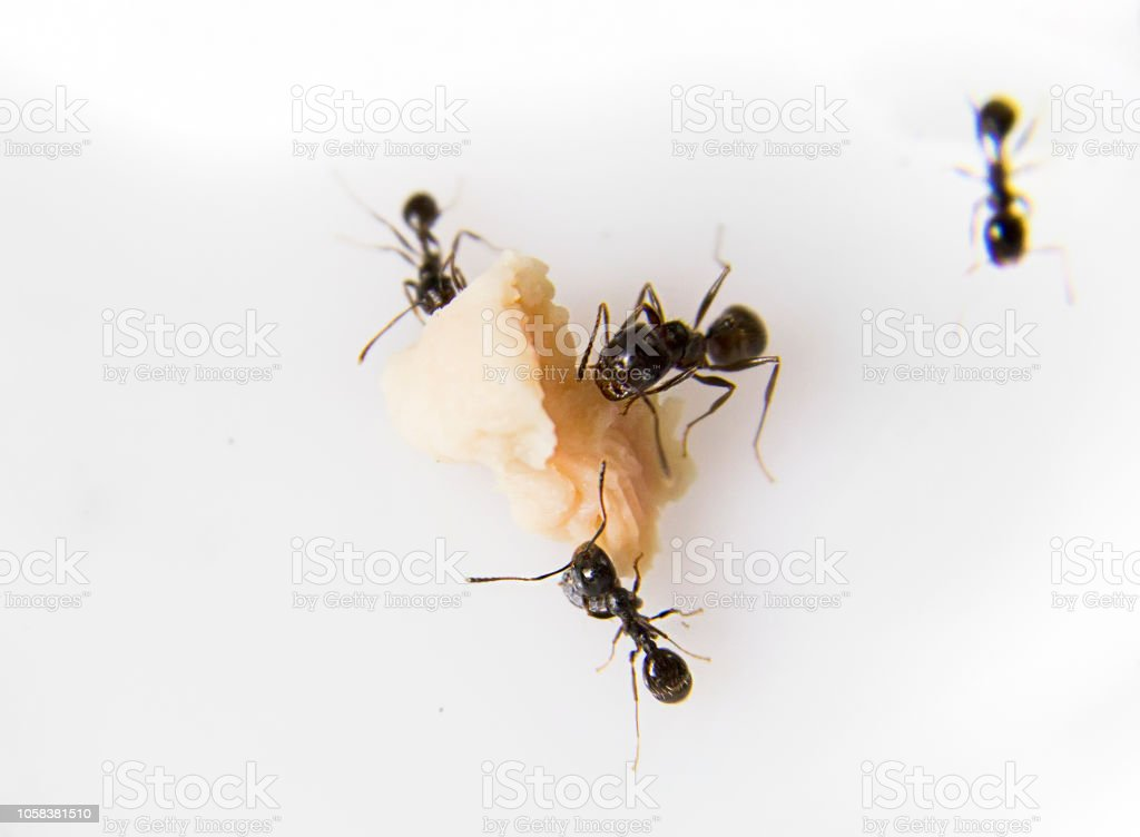 Ants at the kitchen. Black ants on a white background. Messor structor eats chicken stock photo