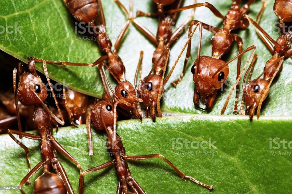 Ants biting green leaf in harmony. stock photo