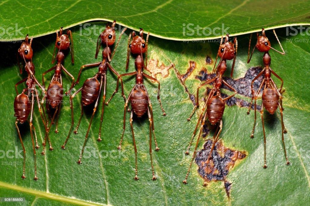 Ants biting leaf, building nest. stock photo