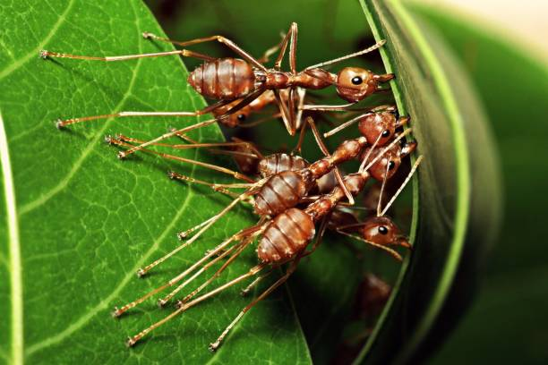 ants biting leaf , building their nest. - ants working together stock photos and pictures