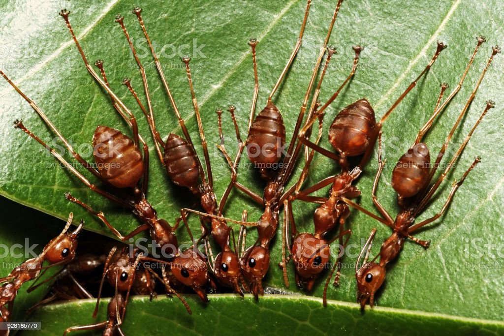 Ants biting leaf, help building nest. stock photo