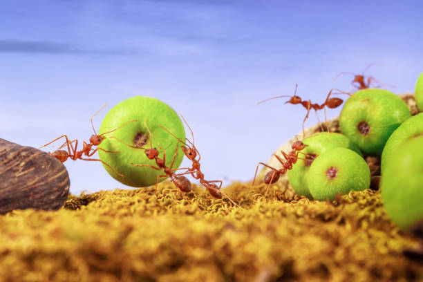 56 Ants Carrying Fruit Stock Photos Pictures Royalty Free Images Istock