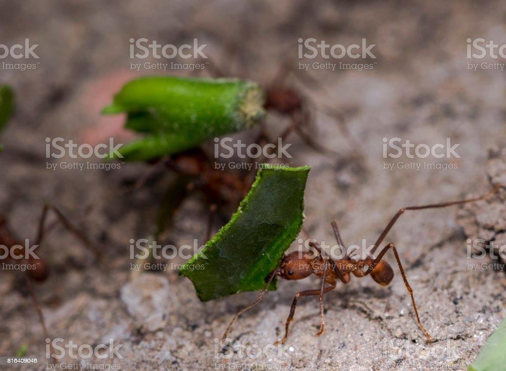 Fotografía de Hormigas Que Llevan Partes De Hojas Verdes A Su Nido y ...