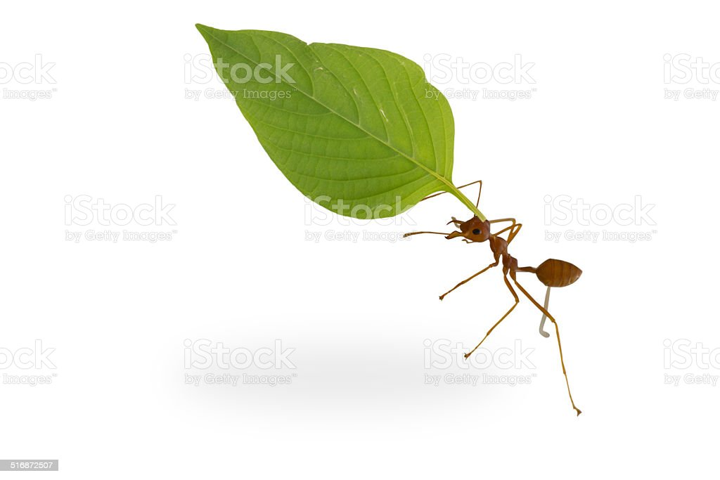 ants carrying leaf stock photo