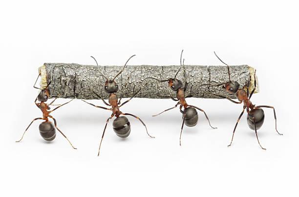 Ameisen tragen Protokoll, Teamarbeit – Foto