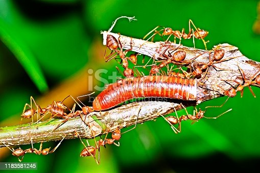 Ants carrying millipede for food.