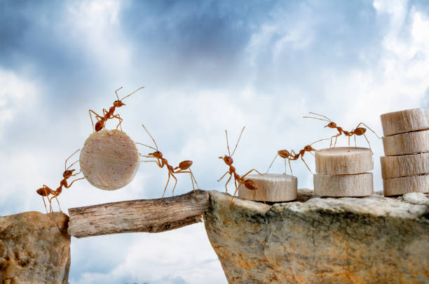 ants carrying wood crossing cliff, teamwork concept - ants working together stock photos and pictures