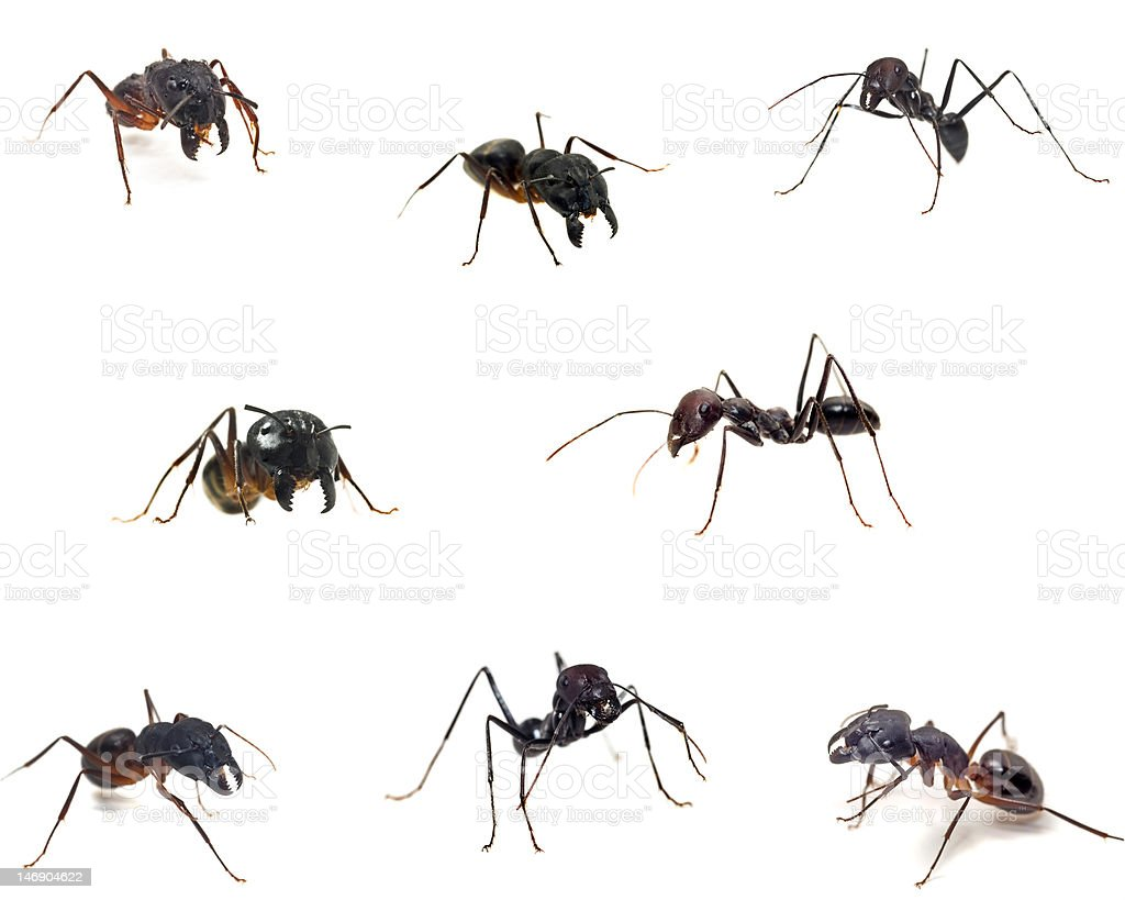Ants close-up collections  isolated on white royalty-free stock photo