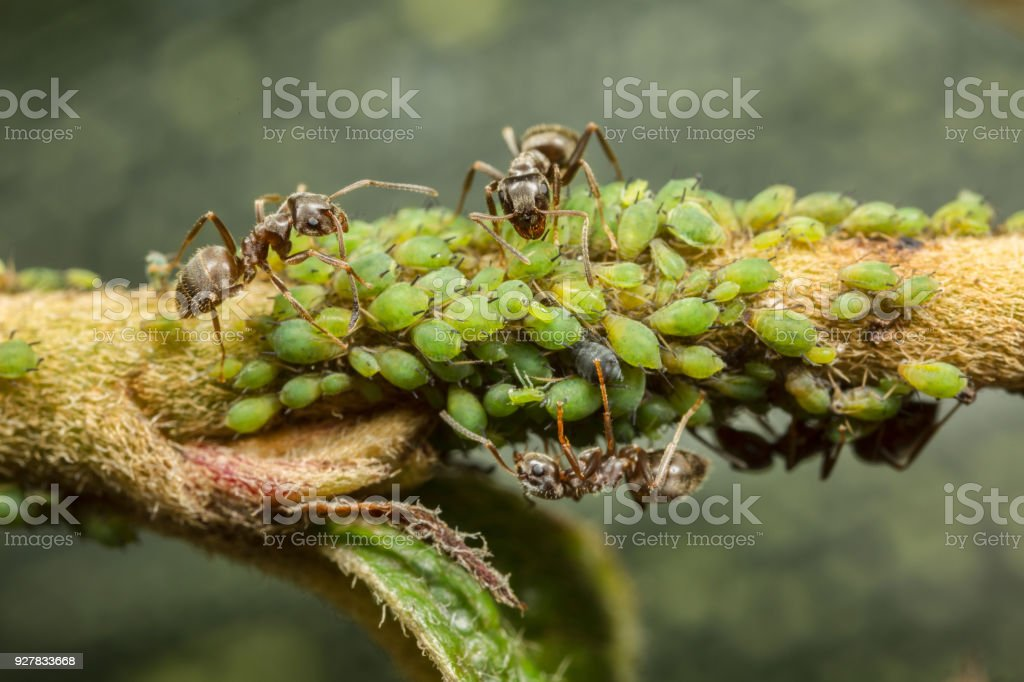 Ants collecting honeydew from aphids stock photo