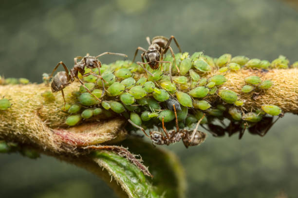 Ants collecting honeydew from aphids Ants collecting honeydew for greenflies (aphids) on a plant stem. aphid stock pictures, royalty-free photos & images