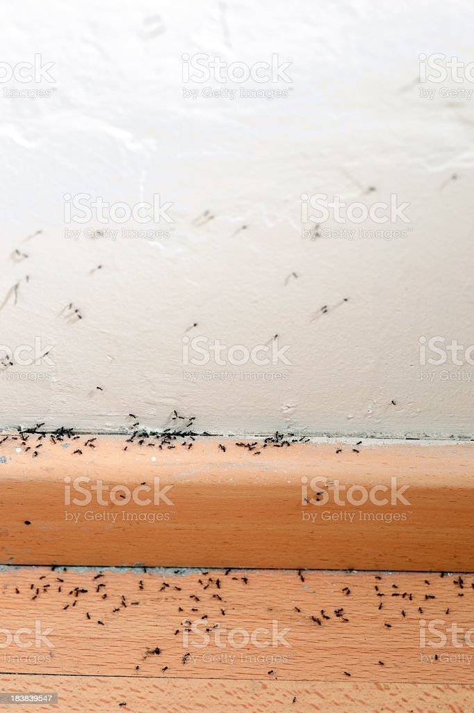 Ants crawling on the baseboard up the white wall stock photo