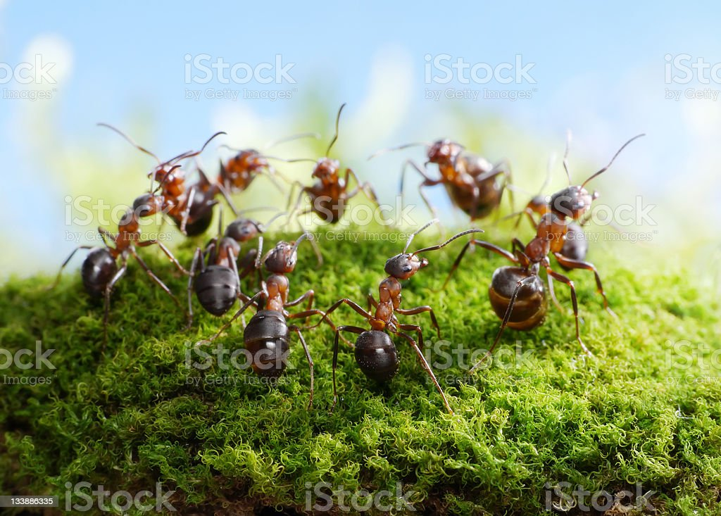 ants, dance of hunters stock photo