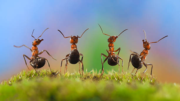 ants dancing. glade, moss - ants working together stock photos and pictures