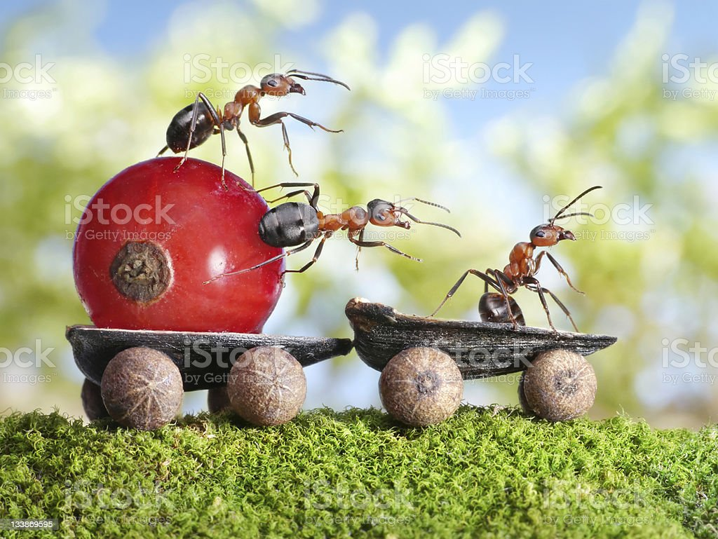 ants deliver red currant with trailer royalty-free stock photo