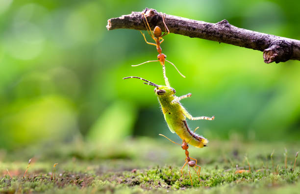 ants dragging the victim - ants working together stock photos and pictures
