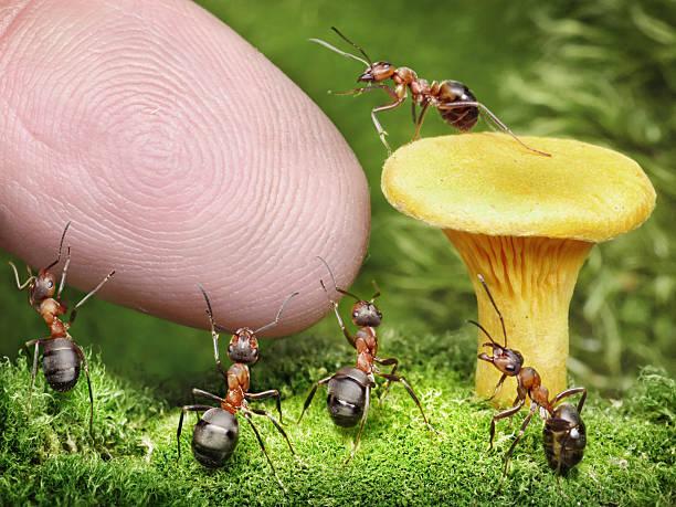 Ameisen bewachen Pfifferling von der – Foto