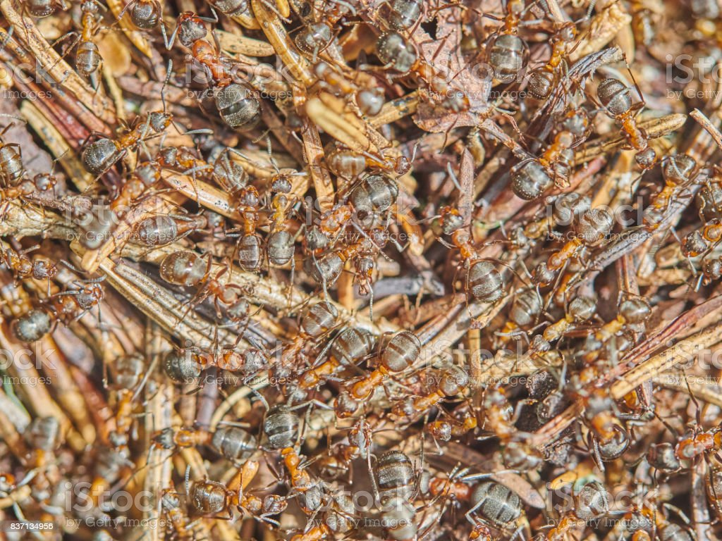 Ants in an anthill stock photo