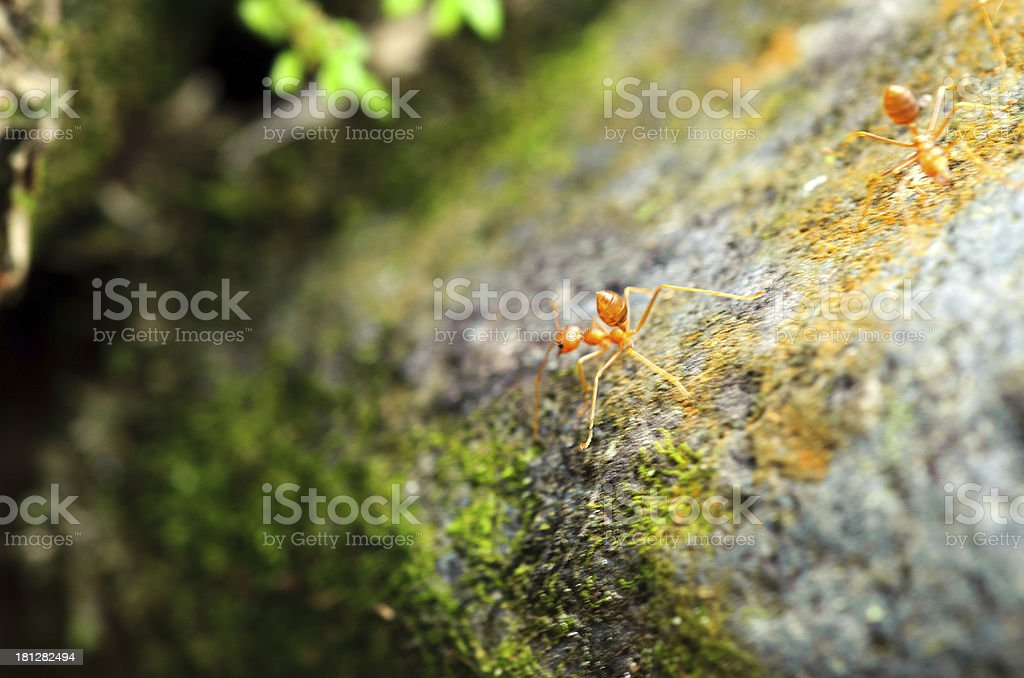 Ants in fighting stance royalty-free stock photo