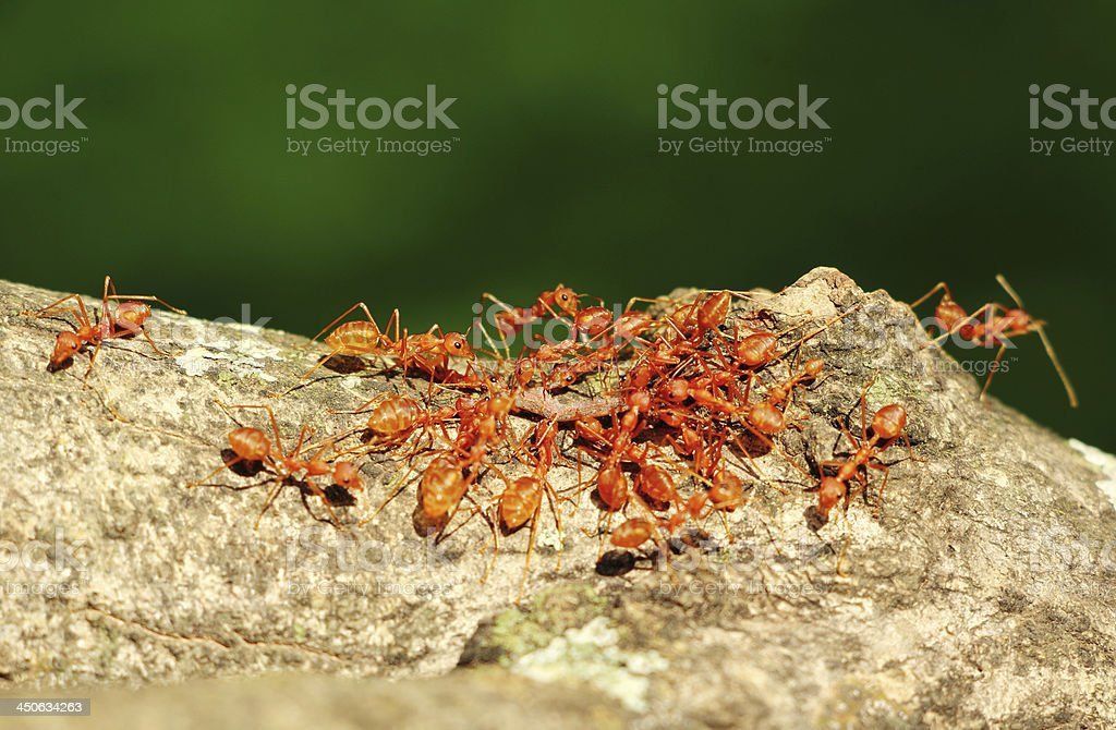 Ants in Teamwork stock photo