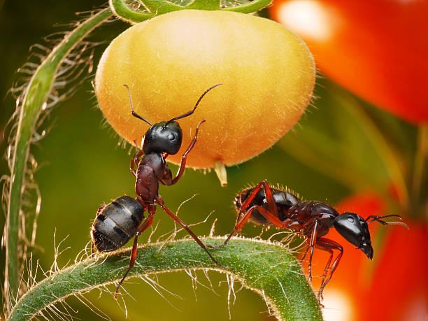 Ameisen in Tomaten-Dschungel – Foto