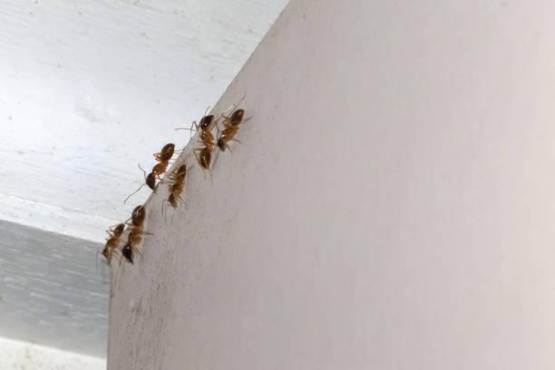 Ants indoors on a white door near Kuranda in Tropical North Queensland, Australia stock photo