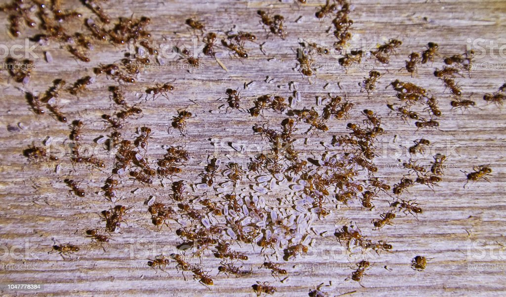 Ants inside woods of house stock photo