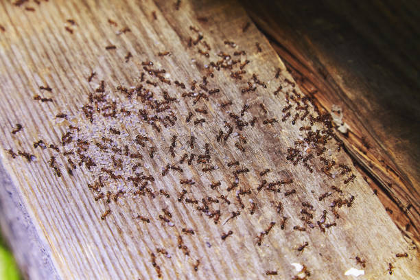 Ants inside woods of house Ants inside woods of house ant stock pictures, royalty-free photos & images