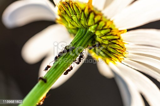 Ants on a dandelion flower photographed from below