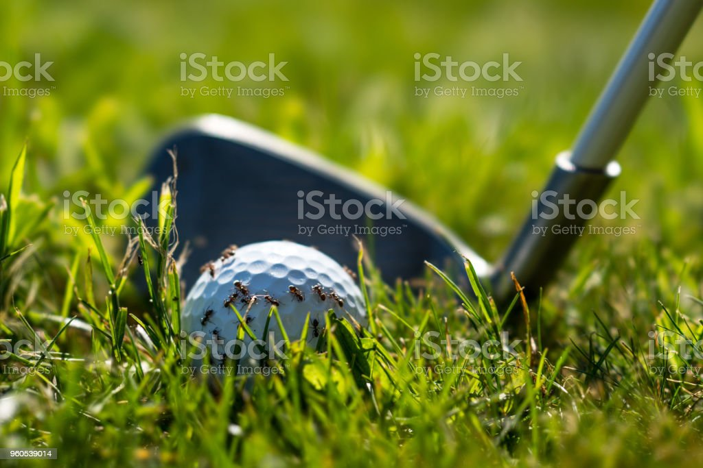 Ants on a golf ball and a golf club behind stock photo