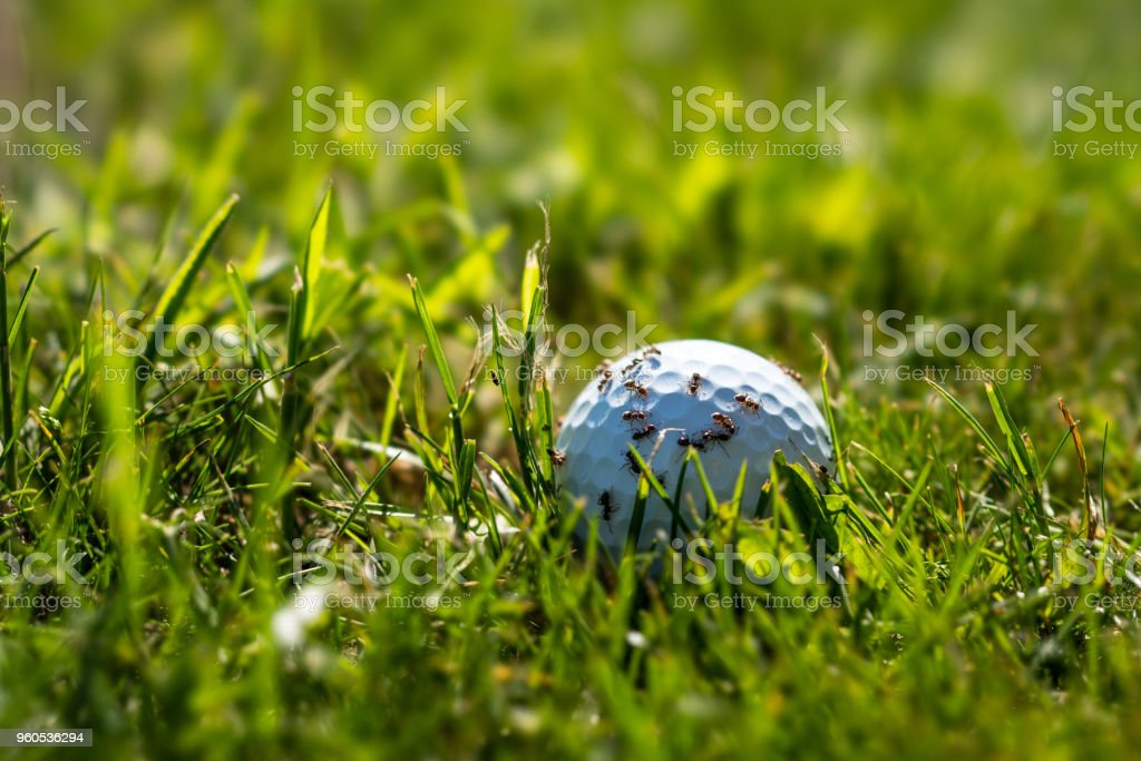 Ants on a golf ball stock photo
