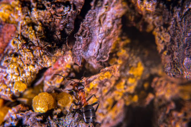 Ants on a pine  tree Wood ants on a tree with amber colored sap formic acid stock pictures, royalty-free photos & images