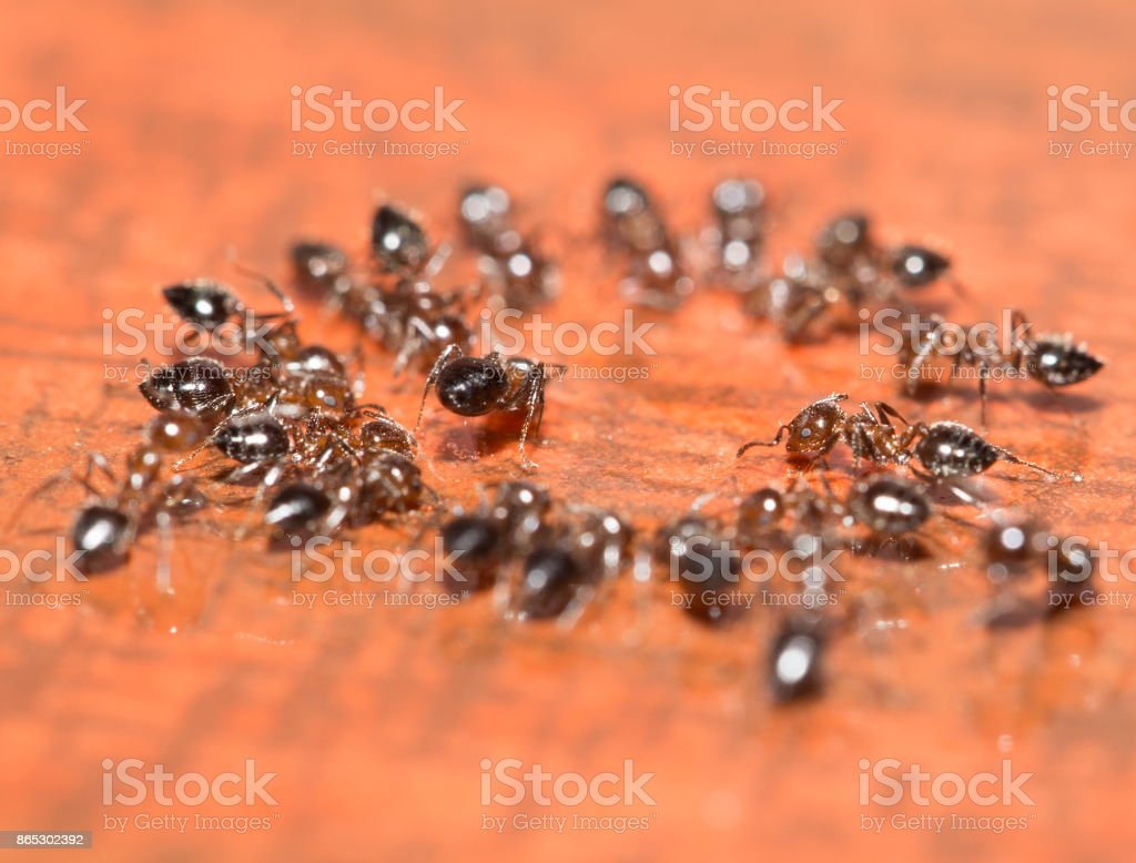 ants on a wooden background. macro stock photo