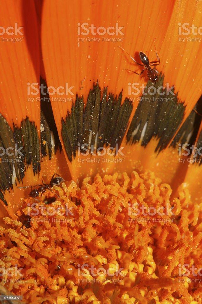 Ants on an Orange Flower royalty-free stock photo