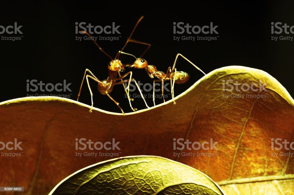 2 ants on curve dry brown leaf. stock photo