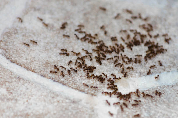 Ants on the floor inside house. Beetles eat on the floor in the apartment. Ants on the floor inside house. A path of colony black and brown ants. Many beetles eat on the floor in the apartment. ant stock pictures, royalty-free photos & images