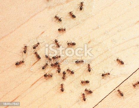 ants indoor on the wodden floor