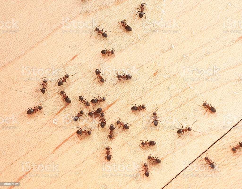 ants on wodden floor top view mit Ameisengift stock photo