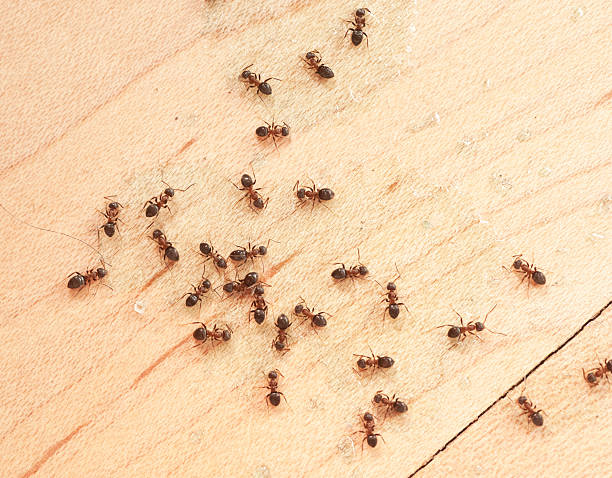 ants on wodden floor top view mit Ameisengift foto